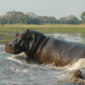 It is the home for many pods of hippos ...