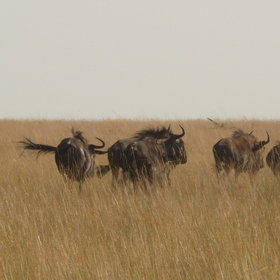 It also plays host to vast herds of wildebeest...
