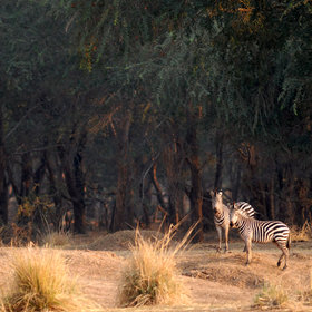 ... to thick woodlands of winterthorn trees, pictured here behind the zebras.