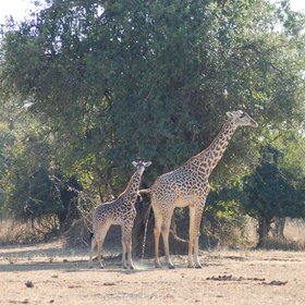 Sometimes the walks will see endemic animals, like Thornicroft's giraffe...