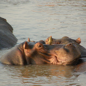 ... of close-up hippos, observed from near the water level...