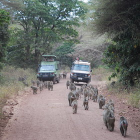 Lake Manyara is well known for its troops of baboons, which are mostly very relaxed around vehicles.