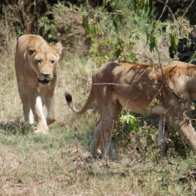 Manyara is renowned for its tree-climbing lions, though they are more usually seen on the ground.