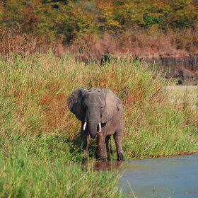 You usually run across elephants grazing on the banks of the Mwaleshi River…
