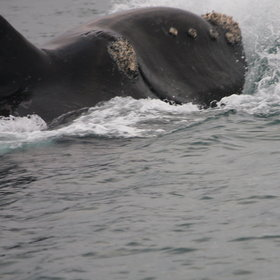 where predominantly Southern Right whales can be seen between around May until November,...