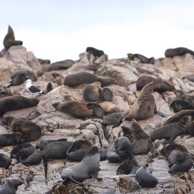 Also enjoy the sight of Cape fur seals ...