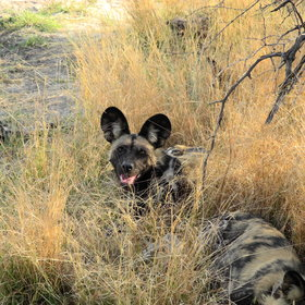 ...and the Okavango Delta is a stronghold for  one of Africa's rarest large predators: wild dogs