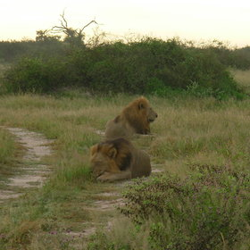 ... and some of large prides of lion which are common here.