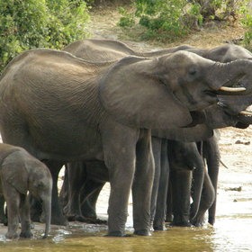 ... some of Africa's largest congregations of elephants ...