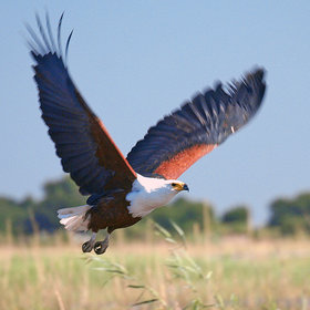 ... to the large African fish eagles, which are very common along the river.