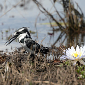 Chobe's birdlife is excellent, with many species from the entertaining pied kingfisher ...