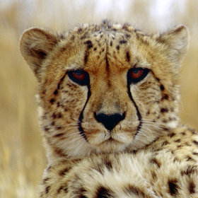 Whilst on the open grasslands of the dry Savuti Marsh, cheetah are occasionally seen.