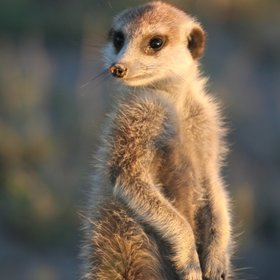 ... and bands of playful meerkats.