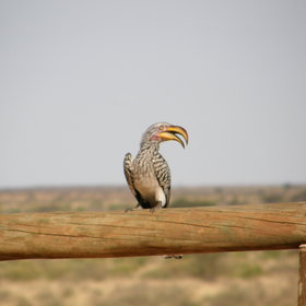 ... birds like the yellow-billed hornbill ...