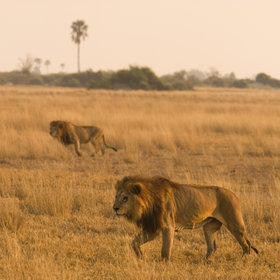 The Kwando-Linyanti area is primarily dry; it's an excellent area for big game.