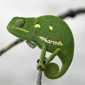 ... to see some of Botswana's smaller wildlife, such as the chameleon.
