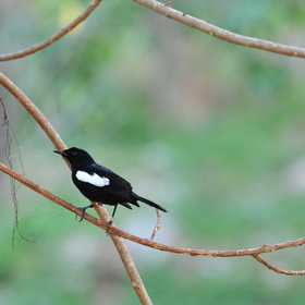 ...including the very rare magpie robin!