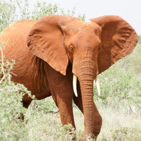 Tsavo East is most famous for its huge herds of elephants, often brick-red from the dust