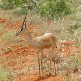 …gazelle such as Grant's gazelle…