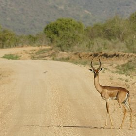 …and the unusual gerenuk, or giraffe-necked gazelle…