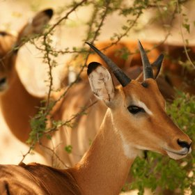 …and graceful impala, …