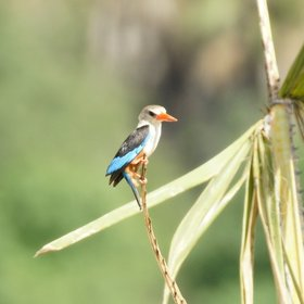 …and grey-headed kingfisher…