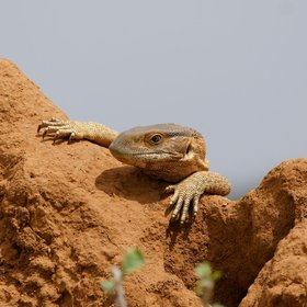 Tsavo East has dramatic reptile life, including big savanna monitor lizards…