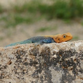 …and more colourful rock agamas (the males are the ones with the red heads).