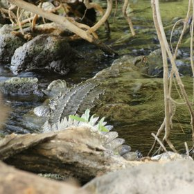 You'll often see crocodiles here, sometimes tucked away in the cooling rapids…