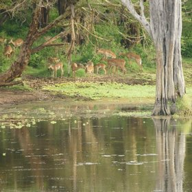 …can be elusive, but all the grazers - such as these impala – are abundant…