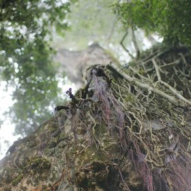 …where lianas and lichens trail from the trees…