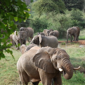 …and elephants and other large mammals are often seen on game walks from the conservancy's lodge.