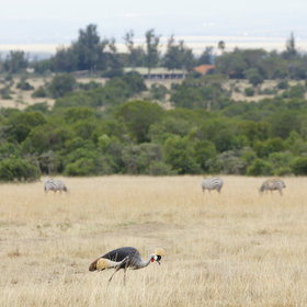 Other conservancies, such as Ol Pejeta (seen here) feel more managed, but have great wildlife.