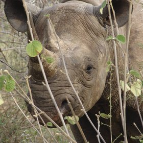 Laikipia is renowned for its rare species breeding programmes – notably black rhinos.