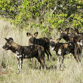 Laikipia offers good chances to see wild dogs - this pack (some with collars) was tracked at Sosian.