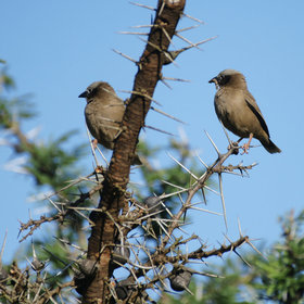 …a pair of very dark-looking grey-capped social weavers…