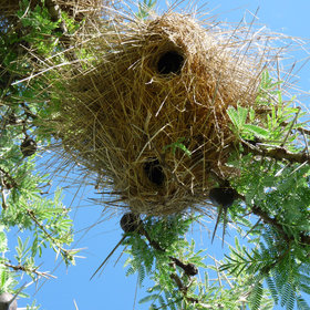 …and their shaggy nests…