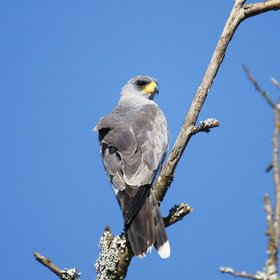 …or a sooty falcon (or is it?), birdwatchers will love Laikipia.