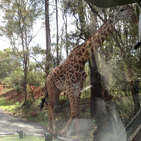 …and Nairobi National Park (where the giraffes don't always keep to the left)…