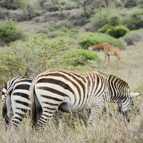 …including zebra…