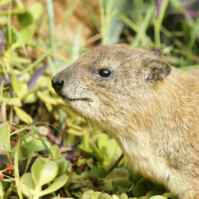 …and rock hyrax.