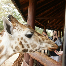 Near the elephant orphanage, the Giraffe Centre breeds rare Rothschild giraffes.