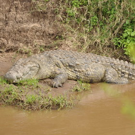…where big Nile crocodiles lie in wait.