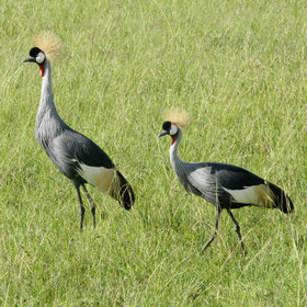 …with some 500 species, including the crowned crane…