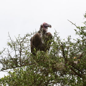 …a host of impressive raptors, including this Nubian vulture…