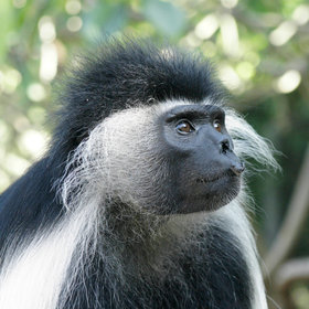 …but you don't have to go far to meet characters like this battered old colobus.