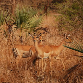 … or the commonly seen impalas.
