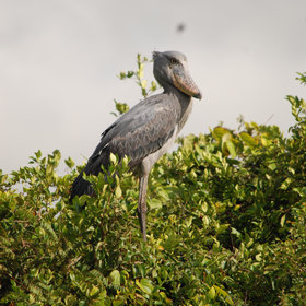 The amazing and very rare shoebill is resident to the Bangweulu Wetlands.