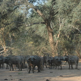 … and large numbers of buffalos.