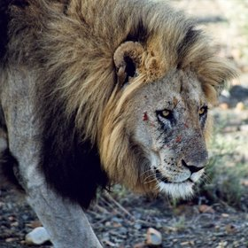 ...lion, about twelve of them in the reserve,...